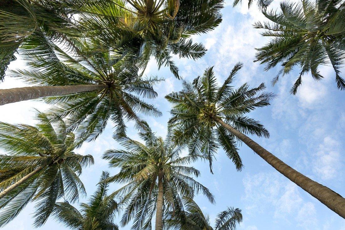 Vue en contre plongée de palmiers avec un ciel bleu en fond.